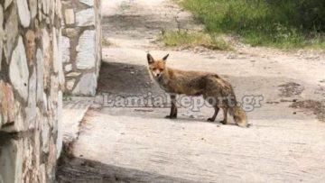 Φθιώτιδα: Αλεπού πηγαίνει καθημερινά για... φαγητό σε εξοχικό στην Γλύφα - Δείτε το βίντεο