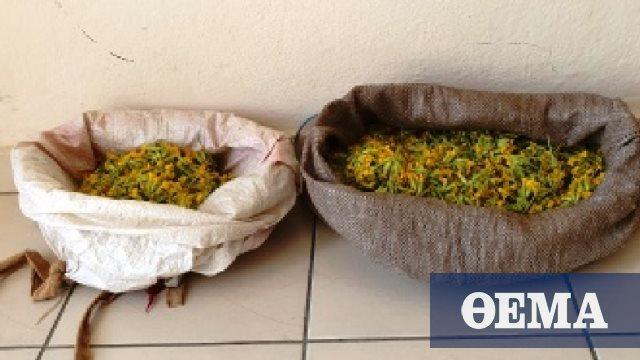 Τσάκωσαν πάλι Αλβανούς να συλλέγουν το πανάκριβο φυτό