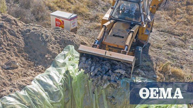 Ξεκίνησε η θανάτωση 2.500 μινκ που βρέθηκαν θετικά στον κορωνοϊό