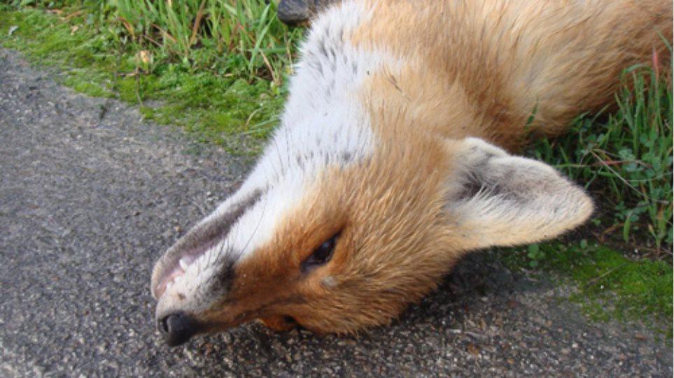Απάνθρωπη δολοφονία αλεπούς στο Κιλκίς
