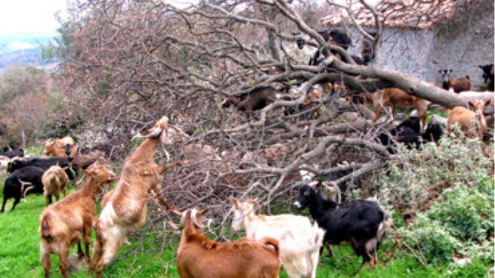Απτόητοι οι ζωοκλέφτες στην Κρήτη