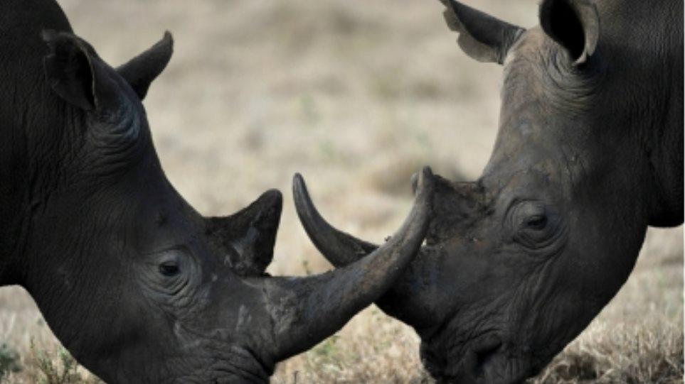 Αυξάνονται οι κλοπές κεράτων ρινόκερων