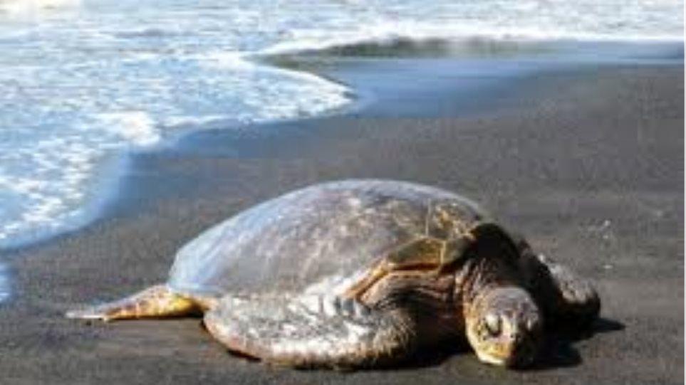 Δύο νεκρές χελώνες μέσα σε δύο μέρες στο Μαλιακό