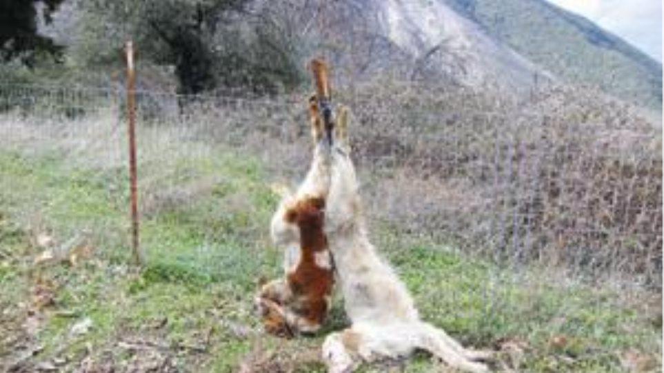 Κρέμασαν δύο σκυλιά σε φράχτη στην Αρτεμισία