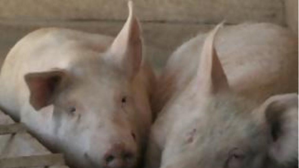Έπιασαν ζωοκλέφτες που έσφαξαν κλεμμένα γουρούνια