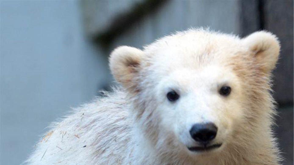 Αρκούδα καταστρέφει κυψέλες στην Πτολεμαΐδα!