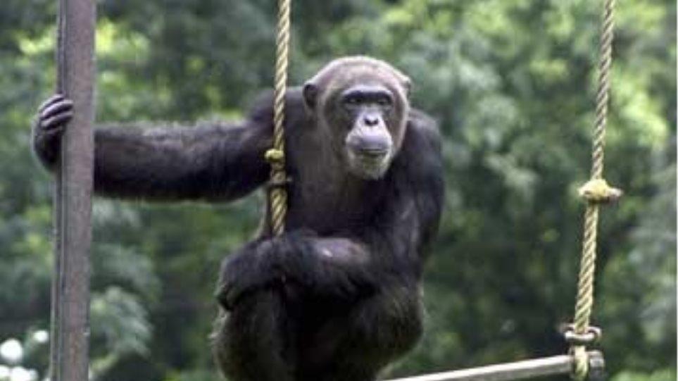 Χιμπατζήδες δραπέτευσαν για να επισκεφθούν γορίλες στο ζωολογικό πάρκο