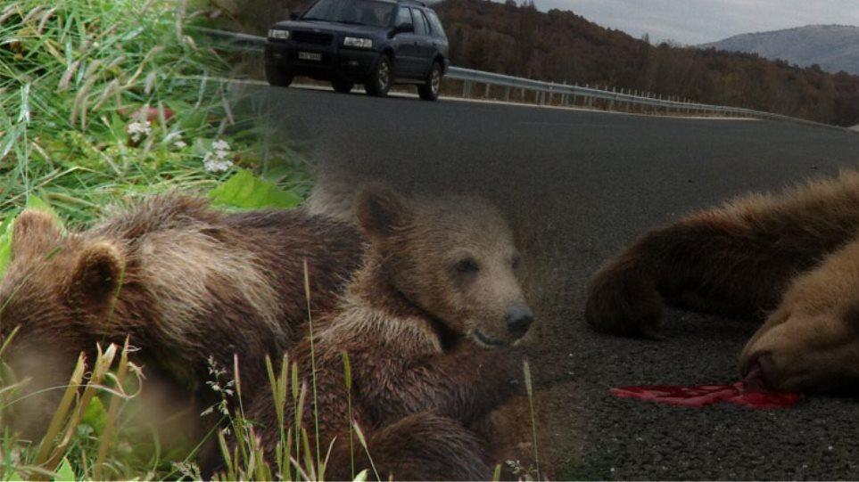 Νεκρά δίδυμα αρκουδάκια σε σημείο καρμανιόλα