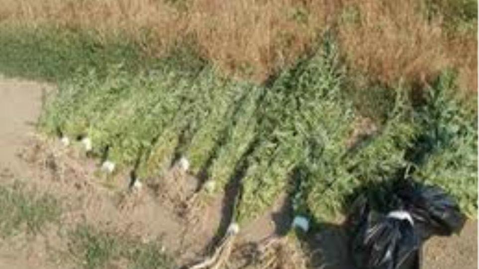 Εντοπίστηκαν 284 δενδρύλλια κάνναβης στον Έβρο