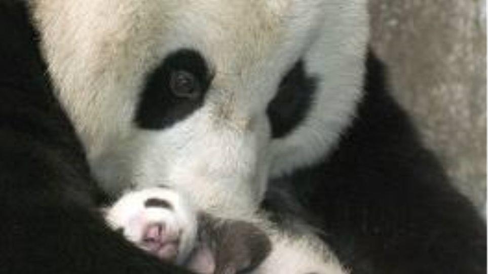 Γέννηση γιγάντιου panda στον ζωολογικό του Σαν Ντιέγκο