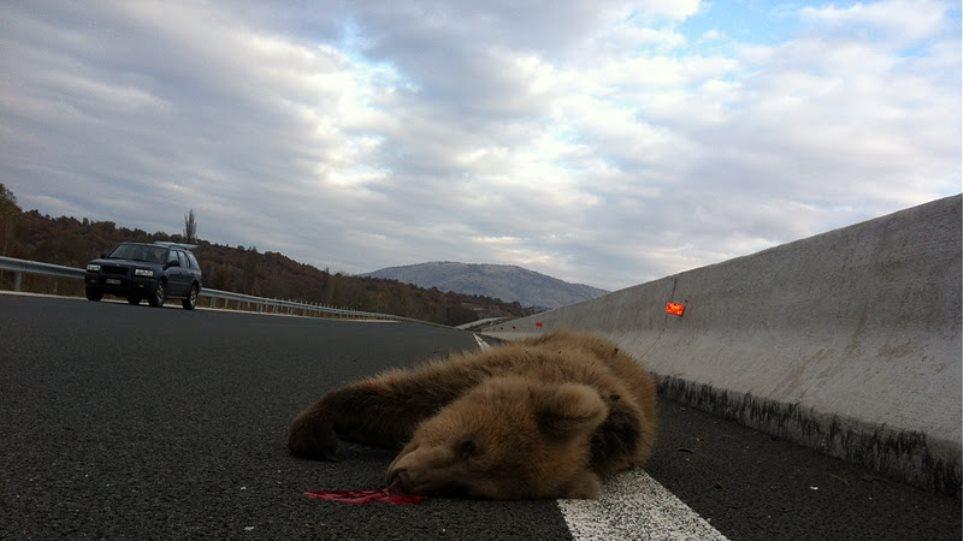 Νεκρή αρκούδα έπειτα από ατύχημα στην Εγνατία Οδό