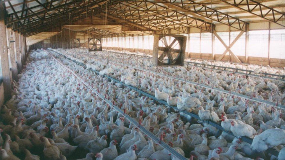 Εξόντωσε 70.000 κοτόπουλα!