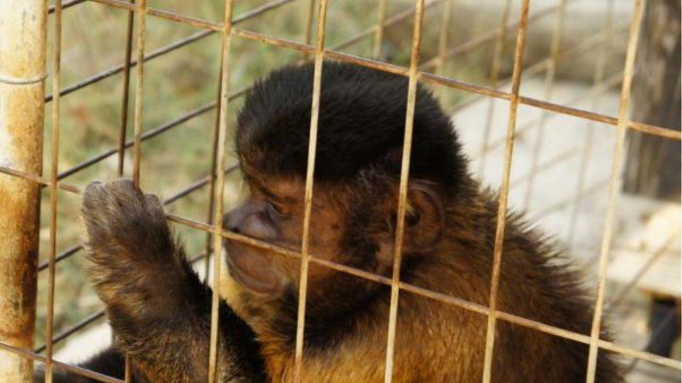 Μαϊμού ως ατραξιόν σε ταβέρνα στη Χρυσή Ακτή της Πάρου