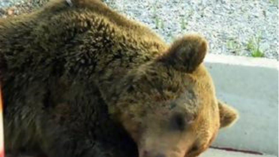 Μία αρκούδα νεκρή κάθε μήνα στο οδικό μας δίκτυο!