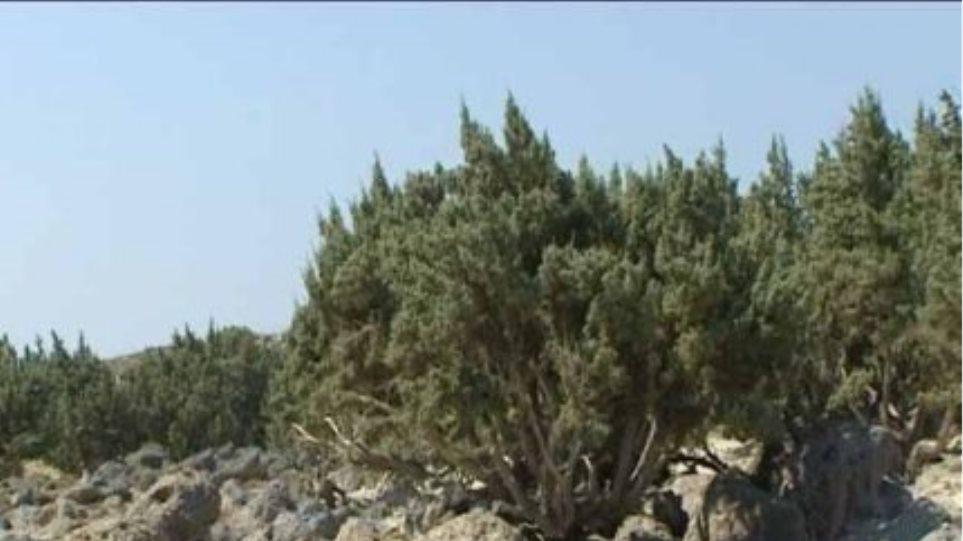 Με αφανισμό απειλούνται οι κέδροι της Κρήτης