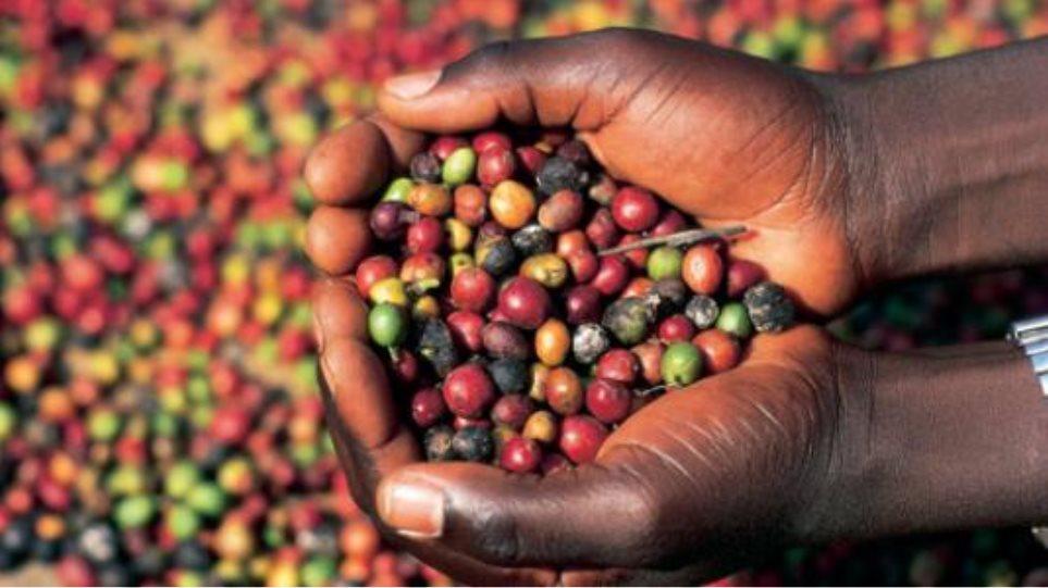 Θύμα… των κλιματικών αλλαγών ο καφές Arabica