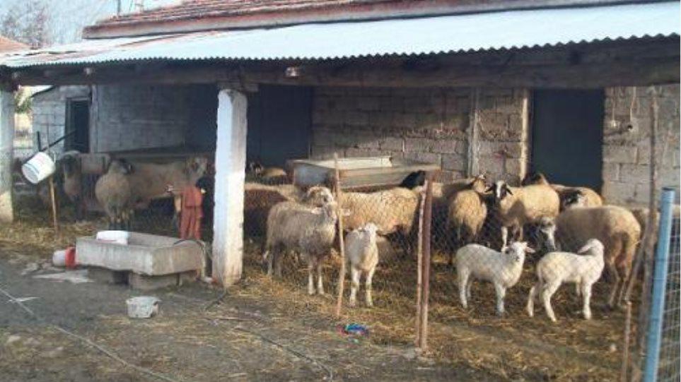 Συνέλαβαν ζωοκλέφτες που ρήμαζαν κοπάδια στη Βόνιτσα