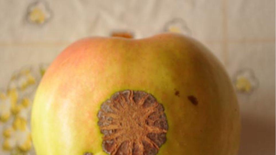 Ανακάλυψαν μήλο με τον... ήλιο της Βεργίνας οι Σκοπιανοί