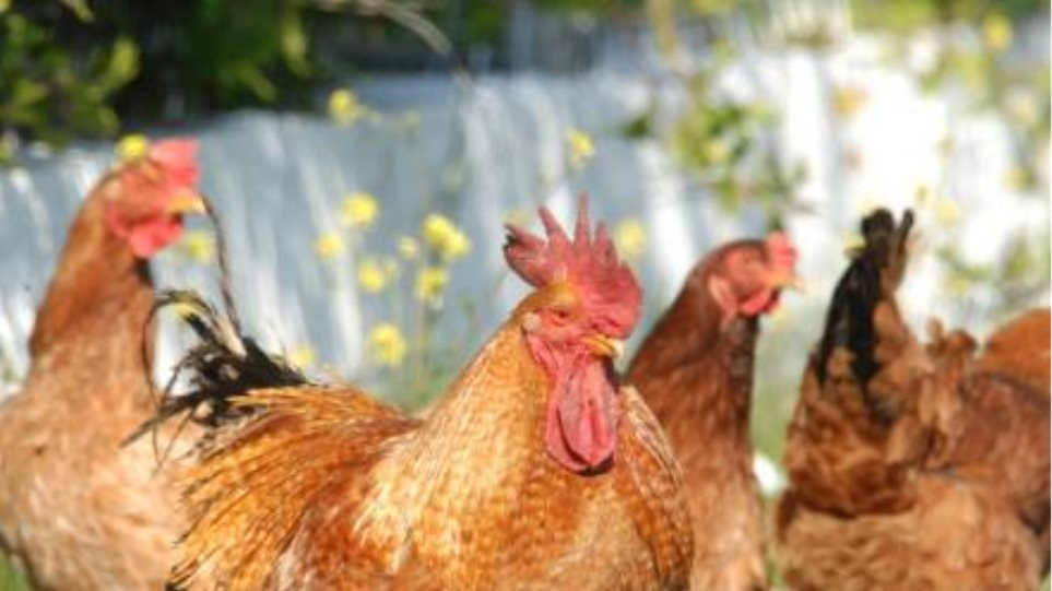 Blogger κατηγορείται ότι έκλεψε 100 κότες και θανάτωσε δέκα!