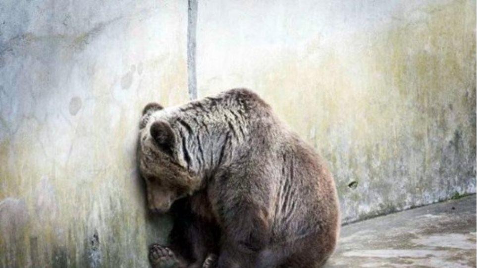 Νεκρή η τελευταία άγρια αρκούδα στην Ελβετία