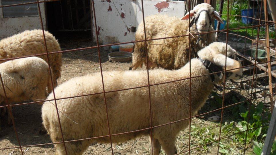 Έκρυβε τον κλεμμένο χαλκό δίπλα στα πρόβατα!