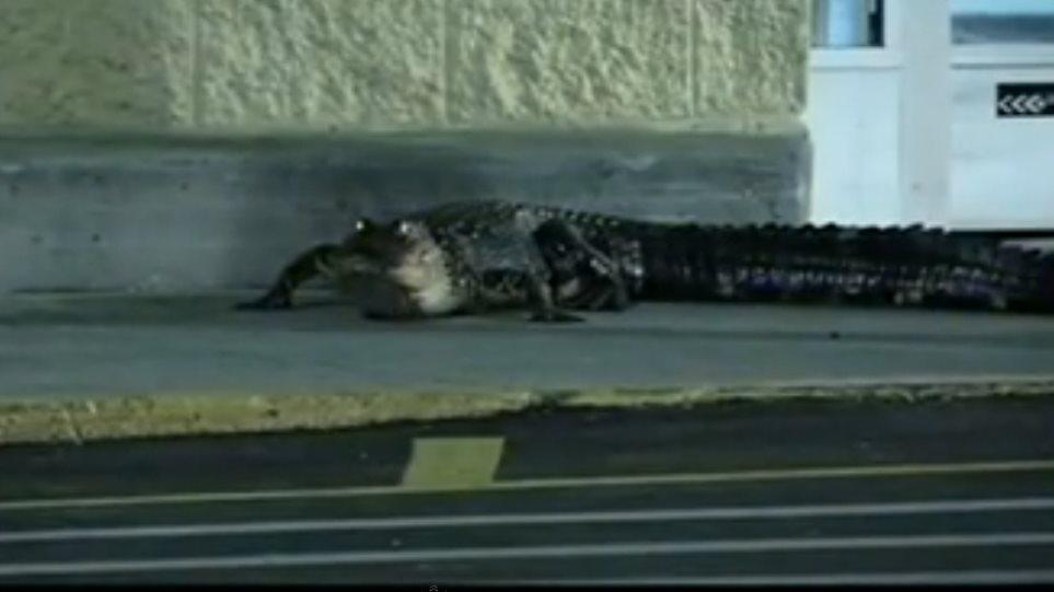 Βίντεο: Αλιγάτορας στις ΗΠΑ έκανε βόλτα σε... σούπερ-μάρκετ!