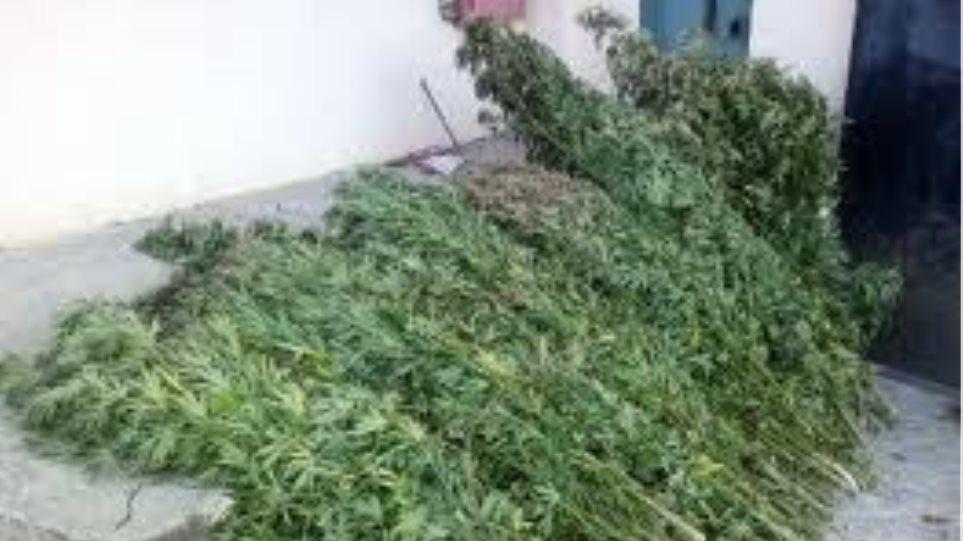 Τρίκαλα: Εντοπίστηκε φυτεία με 18 δενδρύλλια κάνναβης