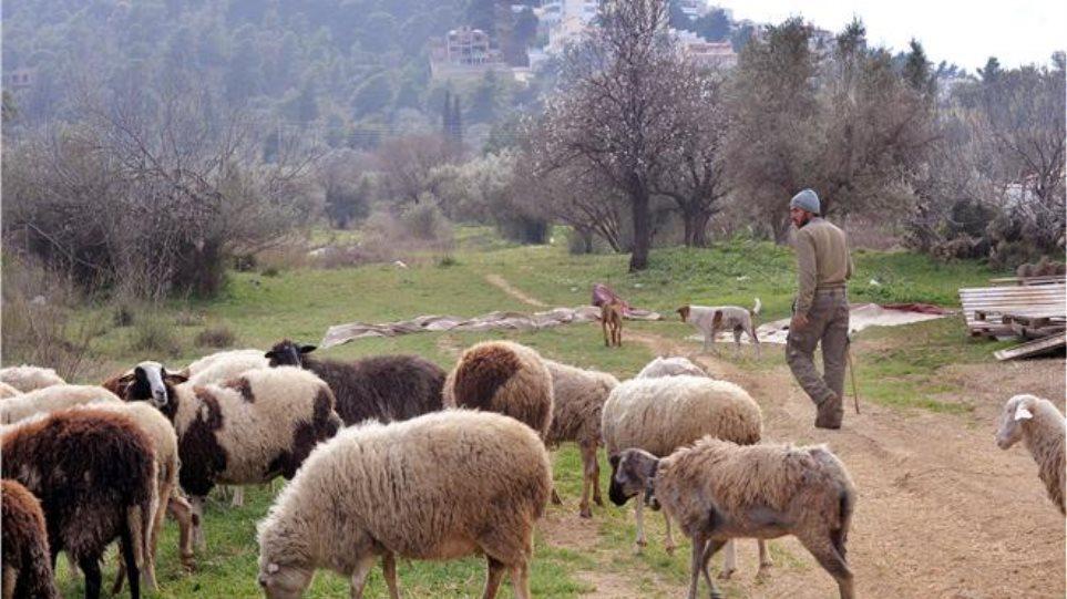 Ξάνθη: Θανατώθηκαν πάνω από 1400 πρόβατα με ευλογιά