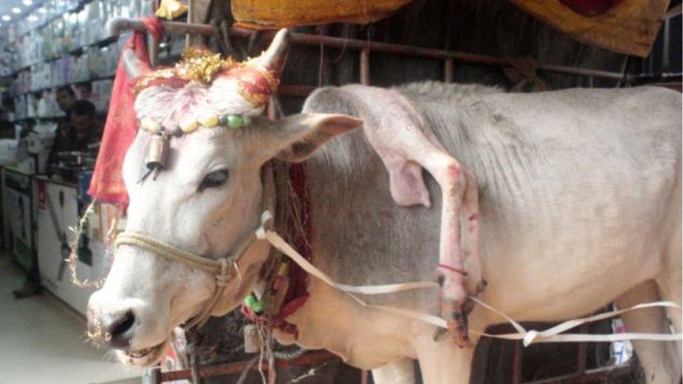 Ινδία: Σπάνια αγελάδα με πέντε πόδια φέρνει τύχη σε όποιον την αγγίξει!