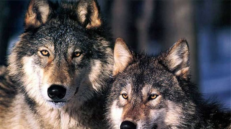 Λύκοι κατασπάραξαν κοπάδι στη Μαγνησία