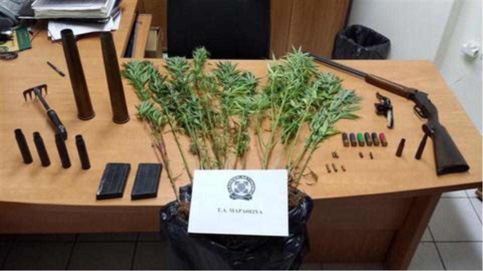 Συλλήψεις για καλλιέργεια δενδρυλλίων κάνναβης