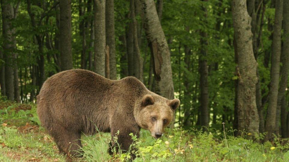 Πίνδος: Αρκούδα πήγε για «καφέ» σε καφενείο ορεινού χωριού