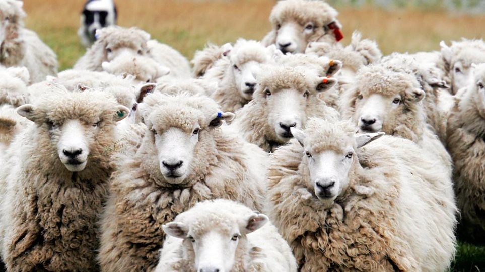 Θεσσαλονίκη: Στο σφυρί βγάζει κοπάδι με πρόβατα ο δήμος Πολυγύρου