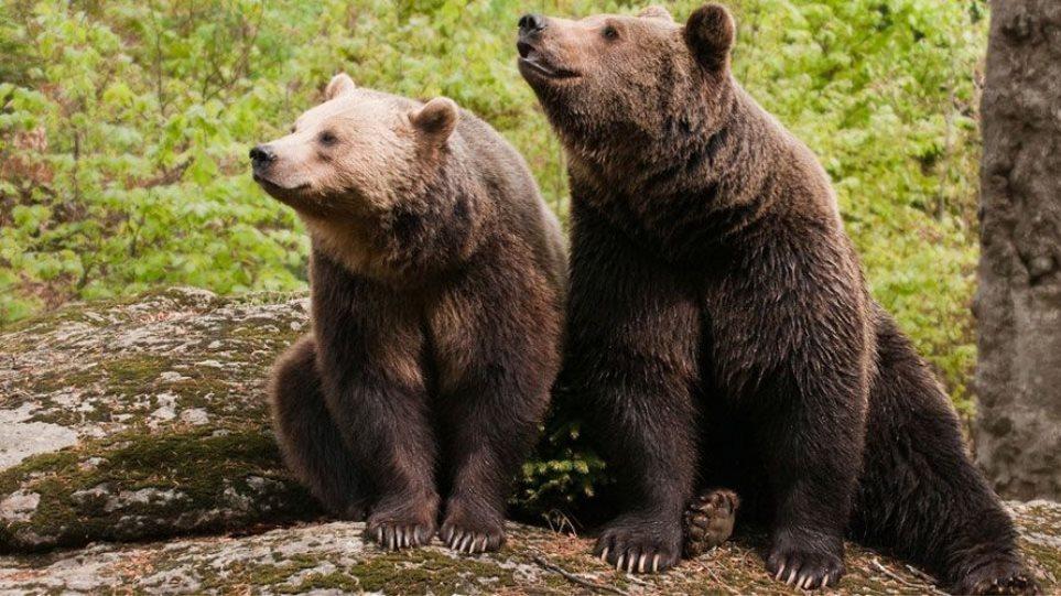 Σμόλικας: Έκαναν τους λύκους για να γλυτώσουν από τις αρκούδες