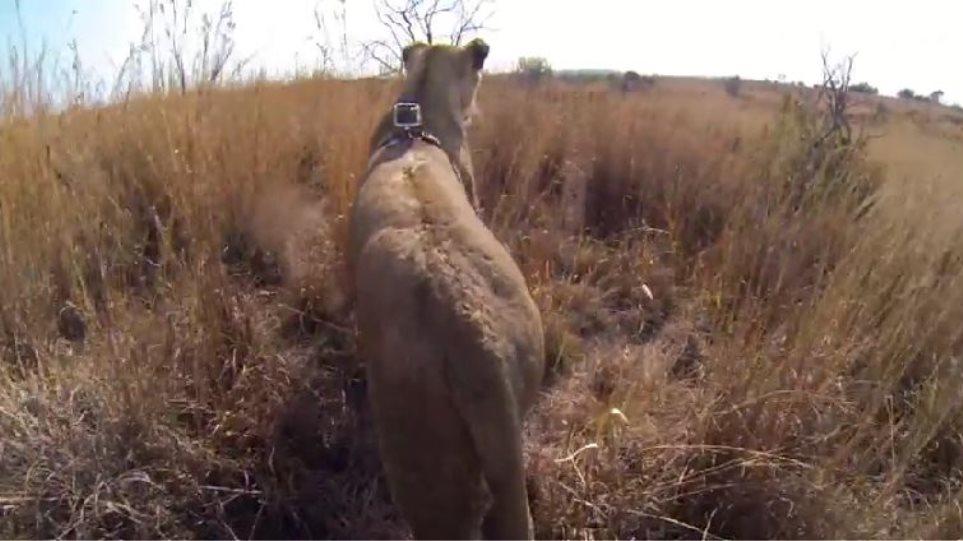 Κυνήγι με τον βασιλιά των ζώων: Βίντεο καταγράφει τα πάντα από τη ράχη ενός λιονταριού