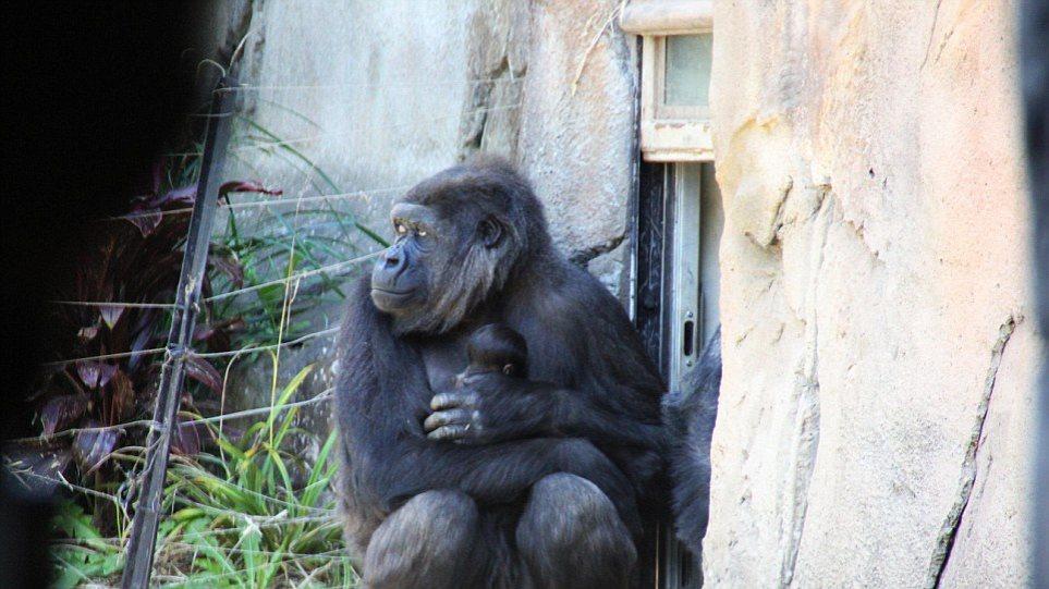 Εικόνες τρυφερότητας: Μητέρα - γορίλας αγκαλιάζει το μωρό της!