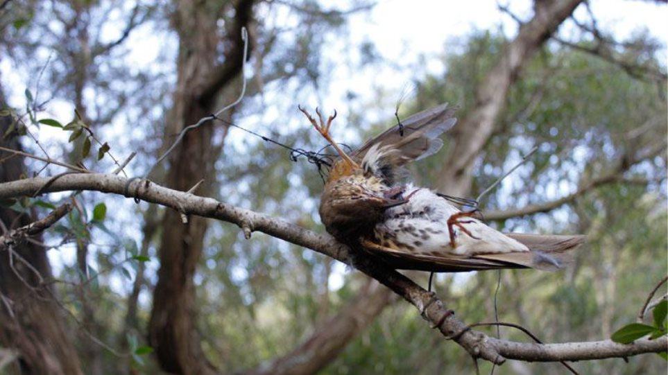 Ρόδος: Αιχμαλώτισε δεκάδες ωδικά πουλιά με παράνομα μέσα