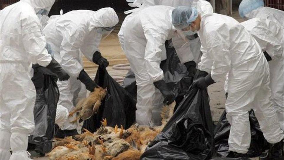 Ολλανδία: Εντοπίστηκε και τρίτη φάρμα με γρίπη των πτηνών