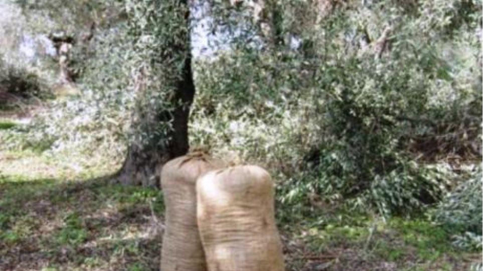 Κρέστενα Ηλείας: Έβαλαν στο μάτι τα σακιά με τις ελιές