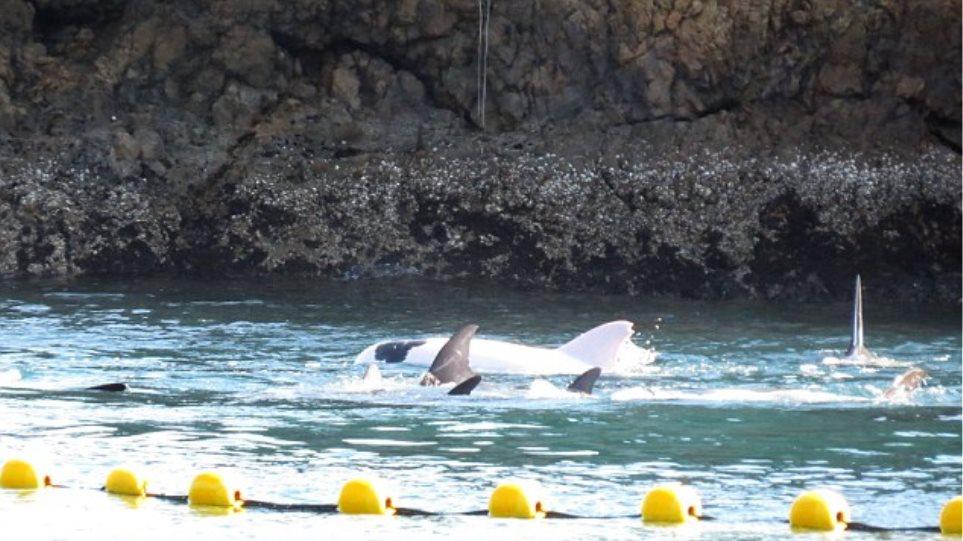 Σπάνιο λευκό δελφίνι αιχμαλωτίστηκε στην Ιαπωνία