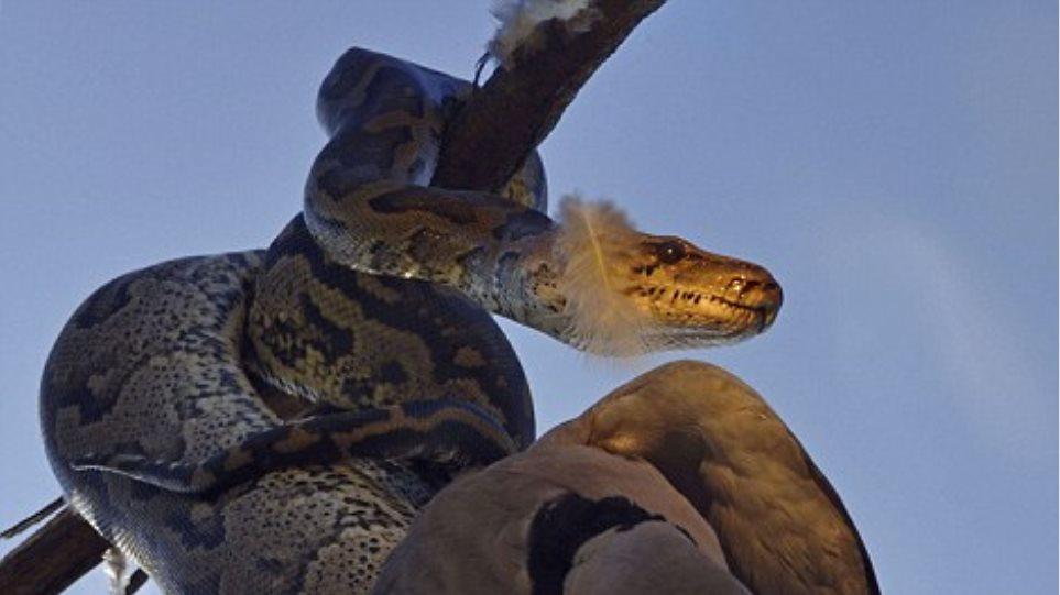 Φωτογραφίες: Πύθωνας επιτίθεται σε περιστέρι επάνω σε δέντρο!