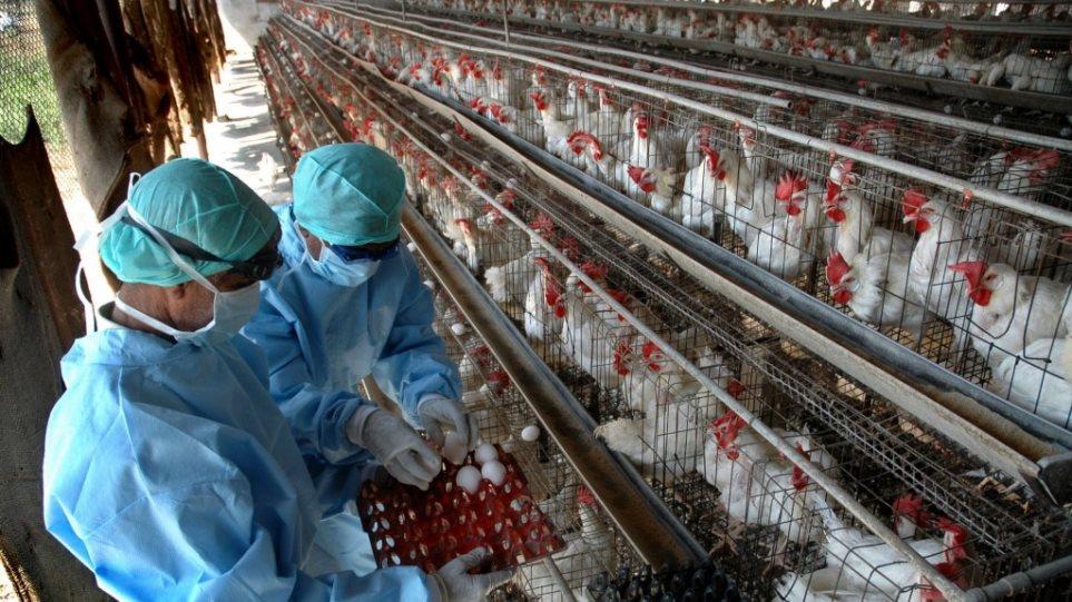 Κρούσματα γρίπης των πτηνών σε τέταρτο ολλανδικό ορνιθοτροφείο