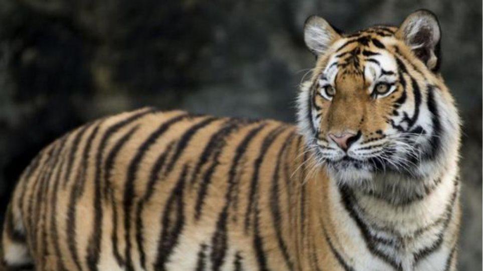 Κίνα: Στη φυλακή επιχειρηματίας που μαγείρεψε και έφαγε τρεις τίγρεις!