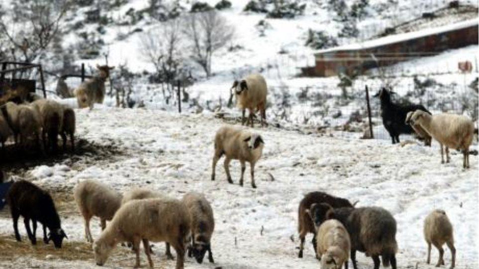 Βοιωτία: Σώθηκε ο βοσκός, χάθηκαν τα ζώα του
