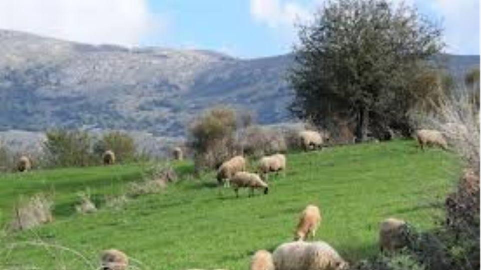 Κρήτη: Νέες λεηλασίες σε ελαιόδεντρα