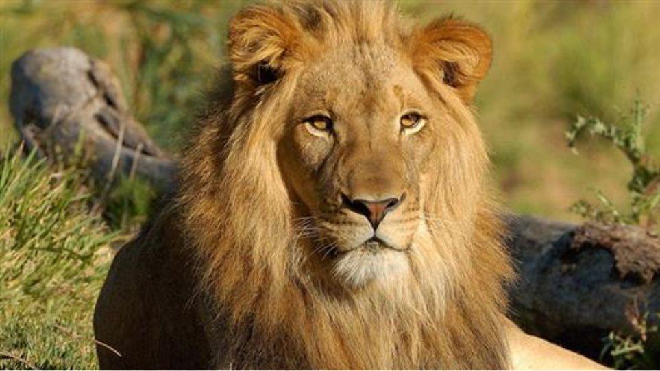 «Υιοθέτησε» τρία λιοντάρια και τα ονόμασε… Πούτιν, Ομπάμα και Μέρκελ