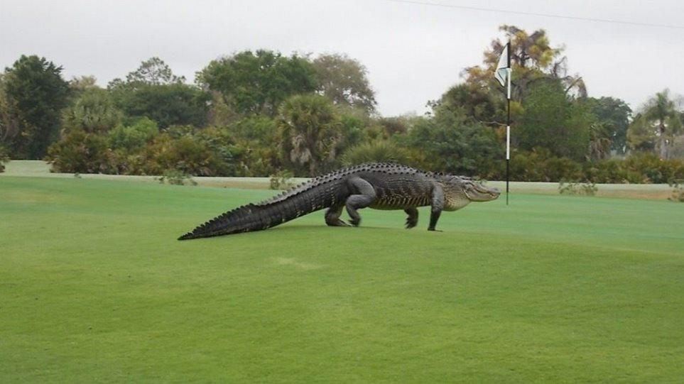 ΗΠΑ: Τεράστιος κροκόδειλος εισέβαλε σε γήπεδο γκολφ