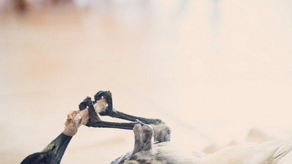 Αυστραλία: Δείτε τον Πένγκουιν, το περιστέρι που βουρτσίζει δόντια!