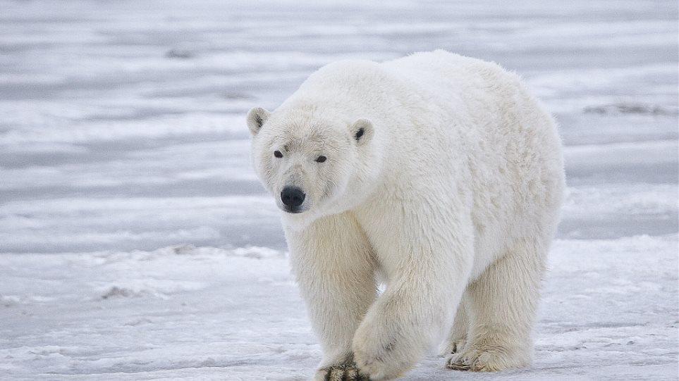 Σκότωσαν πολική αρκούδα που τραυμάτισε τουρίστα