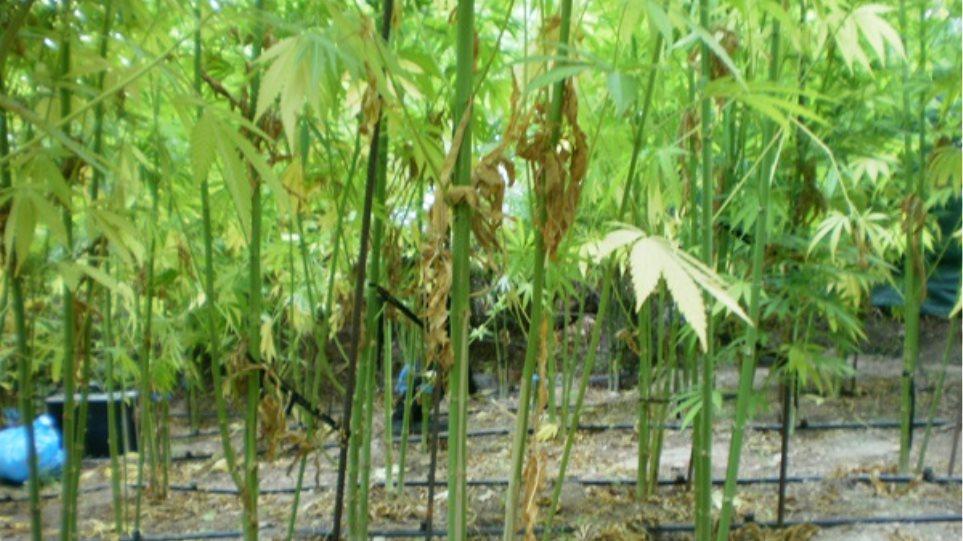 «Ορφανή» χασισοφυτεία σε χωράφι των Χανίων